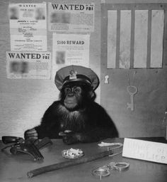 The Barney Fife of the chimp world