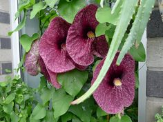 Aristolochia gigantea | Flickr - Photo Sharing!