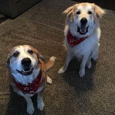 Bo and Duke modeling their Christmas scarves. @dogsbesttrendltd #dogsbesttrendltd #🐶 #christmas #dogsofinstagram #bodog #dukedog