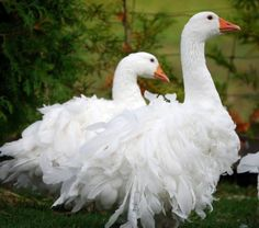 I LOVE Sebastopol Geese! First saw on on Quater Acre Farm blog (Hypsipyle) in Spring of 2011. Cottage RGoogle Image