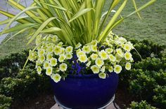 Simple yellow combination for a contrasting blue planter