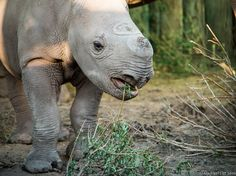 A Remarkable Baby Rhino Rescue: Part 3