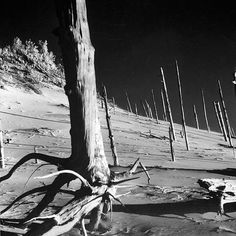 "From the August 29 1960 photo essay about the Indiana Dunes: 'The Vanishing Havens of Beauty' - ""Trunks of long-buried forest exposed by wind stand on side of bowl-shaped ""blow-out"" called Howling Hill."" (Michael RougierThe LIFE Picture Collection/Getty Images) #thisweekinLIFE by life"