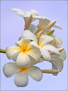 White Plumeria against a cloudless evening sky (frangipani) by arifaqmal~~