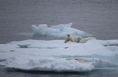 Polar bear sow with cubs on ice floe near Baffin Island. Polar Bear, Cubs, Bears, Canada, Animals, Animales, Puppies, Animaux, Bear