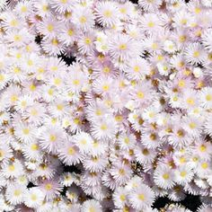 Mesembryanthemum crystallinum Pig Face White has bunches of radiant frosty white daisy-like flowers that open in the sunlight during the summer months. Full Sun Plants, Water Plants, White Flowers, Beautiful Flowers, Garden Express, Ice Plant, Low Maintenance Garden, White Gardens, Shade Plants
