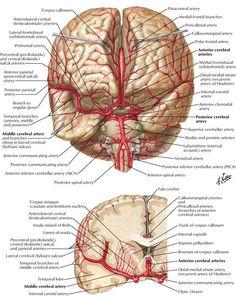 Resultado de imagen para arteries of the brain Nerve Anatomy, Brain Anatomy, Human Body Anatomy, Medical Anatomy, Human Anatomy And Physiology, Anatomy Study, Brain Science, Medical Science, Arteries Anatomy