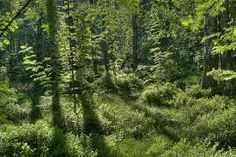Image result for bushes in forest