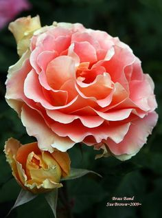 ~Floribunda Rose 'Brass Band' Rosa