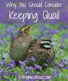 If you live in a location where ordinances prohibit keeping chickens and ducks, then quail may be right for you. Discover the many reasons why you might want to consider keeping quail.