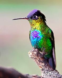 Fiery-throated hummingbird (Panterpe insignis) is a medium-sized hummingbird which breeds only in the mountains of Costa Rica and western Panama.