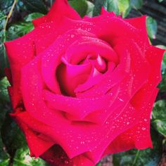 the #passion of a red #rose