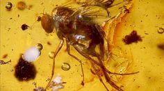 Picaduras prehistóricas: Hallan un mosquito fosilizado y con sangre