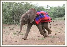 Recently rescued Barsilinga is making steady progress at the Nairobi Nursery. Spending his days out and about in the bush with all the other orphans.    From today you can contribute to sweet Barsilinga's care by fostering him - become a part of his extended human family and get monthly updates on his progress via email. http://www.sheldrickwildlifetrust.org/asp/orphan_profile.asp?N=270