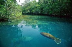 Manatees in the Crystal River, Florida