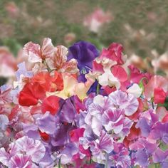 Sweet Pea Big Top Mr Fothergills Range Seed - Irish Plants Direct