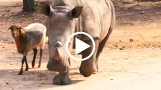 Sheep Helps Rhino Orphans Grow Up With A New Family