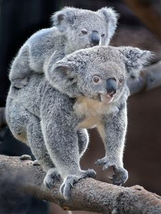 Gummy bears by Ion Moe | Flickr - Photo Sharing!  Tonahleah give her 10-month-old joey Gummy a koala back ride at the new Conrad Prebys Australian Outback exhibit at the San Diego Zoo