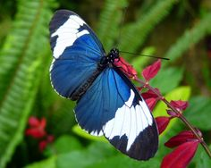 Sapho Longwing (Heliconius sapho), by J. Staake