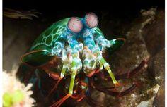 The Mantis Schrimp (La crevette mante-religieuse) Bizarre Animals, Unusual Animals, Rare Animals, Animals And Pets, Animals Sea, Ugly Animals, Dangerous Animals, Interesting Animals, Underwater Photos