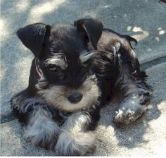 Aww I'll take this one!! A darling mini schnauzer puppy just adorable ✨✨