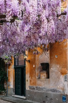 The most beautiful season - Wisteria in full bloom in a courtyard off of the famous Via Margutta in Rome, Italy.