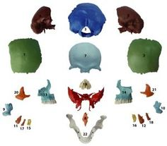 Human Medical Anatomical Adult Osteopathic Skull Model, 22-Part Didactic Colored  http://www.bestdealstoys.com/human-medical-anatomical-adult-osteopathic-skull-model-22-part-didactic-colored-2/