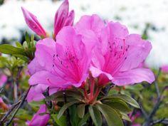 つつじが周辺でも咲きはじめました。Azelea in Tokyo