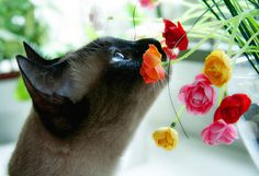 Take a little time to smell the roses #siamese #cat