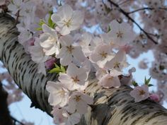 My favourite picture from the Cherry blossoms in DC.  To be honest, pictures don't do the experience justice :)