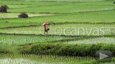 Check out this Work Rice Indonesia HD Stock Footage Clip. Zoom shot made at day. Wide shot. 2010-03-26, INDONESIA.