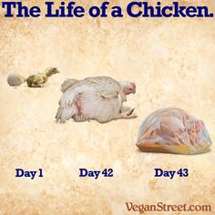 Pro Vegan: For the nearly all of the 50 Billion chickens who are killed for food each year across the world, life is crowded, painful, suffocating and very very short. Vegan Memes, Vegan Quotes, Vegan Facts, Factory Farming, Why Vegan, Did You Eat, Stop Animal Cruelty, Vegan Animals, Nutrition