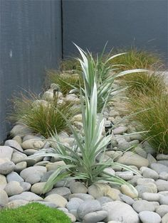 Astelia Silver Spear & Carex Testacea ... light rock makes a soothing backdrop for the plants