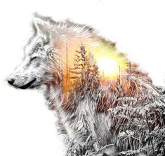 Picture of wolf and wood Wolf Tattoo Design, Wolf Design, Tattoo Designs, Wolf Wallpaper, Animal Wallpaper, Wolf Tattoos, Celtic Tattoos, Animal Tattoos, Wolf Spirit