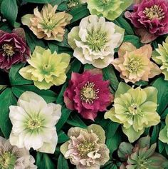 Helleborus   A beautiful winter season perennial that can stand neglect!  As long as soil has lots of organic mater and doesn't get water logged these will thrive, even under tough shade contitions, like under redwoods.