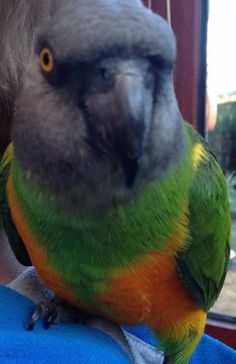 FOUND SENEGAL: 09/10/2016 - Ashford, Kent, England, United Kingdom. Ref#: F26815 - #ParrotAlert #FoundBird #FoundParrot #FoundSenegal