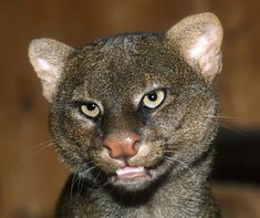 Jaguarundi (Puma yagouaroundi) at ZOO Berlin, Germany - photo by Vladimír Motyčka;  It is a small-sized wild cat native to Central and South America. It is also called eyra cat. They are active during the day, and while they are comfortable in trees, they prefer to hunt on the ground.   - info from Wikipedia