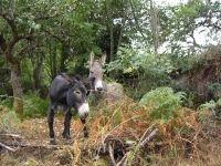 Donkeys in Bastelica, Corsica, France
