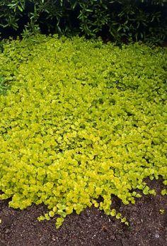 Fleur jaune. Croissance rapide.