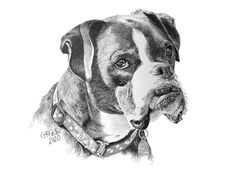 Pencil portrait of boxer dog - Garry's Pencil Drawings