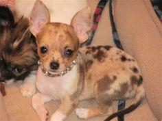 Red Merle Chihuahua