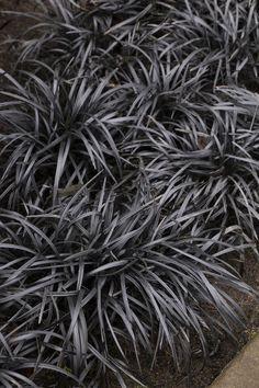 Black Mondo Grass - Monrovia