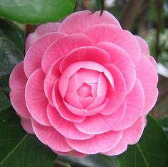 Resultado de imagen de Tsubaki flower
