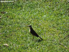 Suiriri-cavaleiro (Machetornis rixosa) fotografado na Fazenda Montanhas do Japi, em Jundiaí/SP, em Janeiro/14.