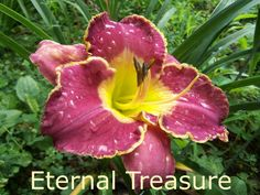Eternal Treasure (Grace-L., 2009) height 27in (69cm), bloom 6.75in (17.0cm), season EM, Rebloom, Semi-Evergreen, Tetraploid, Fragrant, 25 buds, 3 branches, Soft pink with green gold edge. (Angels Gather Around × sdlg)