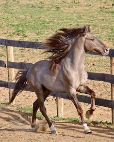 This site promotes the wonderful temperment & gait of the Rocky Mountain Horse through advertising, breeding & sales. We always have excellent Rocky Mountain Horses for sale. Quality Rocky Mountain Horses always for sale All The Pretty Horses, Beautiful Horses, Animals Beautiful, Grulla Horse, Appaloosa, Dun Horse, Friesian, Majestic Horse, Majestic Animals