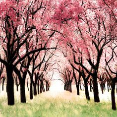 Cherry Blossom Orchard Photo Art for a girls room modern pink and brown nursery children decor Wonderland 12x12 Oht