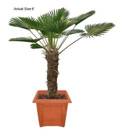 Miniature Chusan Palm Tree (Eastern China) - We have traveled the globe to bring you the most exotic, rare, and beautiful species of plants and palm trees shipped to your door! Interested in buying something unique for a friend, office, or your significant other, just visit www.realpalmtrees... for gift ideas, they even come wrapped in a bow! Palm trees and plants are great for outdoor landscaping, decorating a pool patio, for a spa or Jacuzzi, or just to spread the word of Green Living!
