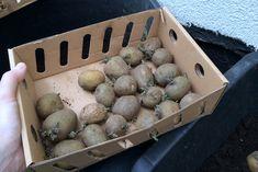 Kartoffeln in Kübeln: 2,5 kg Pflanzkartoffeln hatten wir in einer praktischen Vorkeimkiste zimmerwarm und hell gelagert, um die Keimbildung anzuregen | Ländchenlust