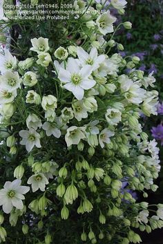 PlantFiles Pictures: Early, Small-flowered, Evergreen Clematis 'Joe' (Clematis) by Terri1948